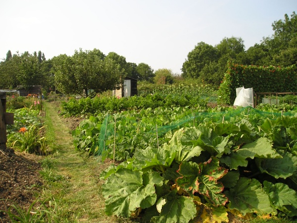 roding road allotments 2 by ann andrews.jpg