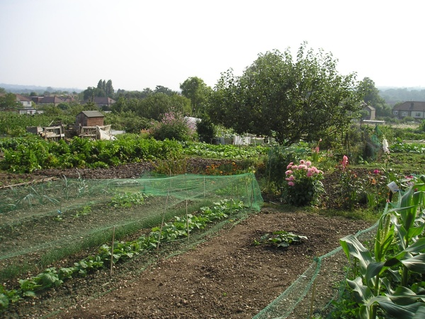 roding road allotments by ann andrews.jpg